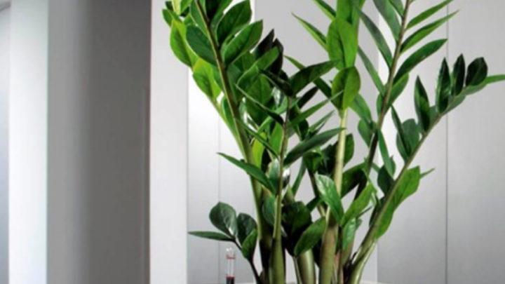 Красавец замиокулькас: 10 плюсов в пользу экзотического растения в вашем доме