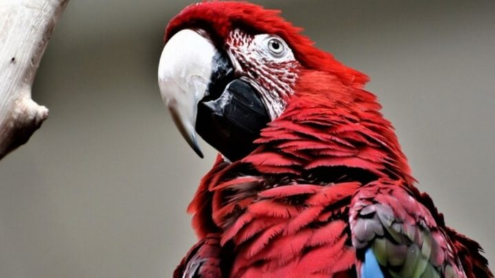 История самого мерзкого попугая в мире.