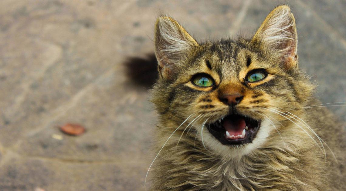 О чем мурлычет кот: кошачий словарь