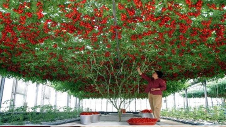 В Израиле вырастили помидорное дерево огромных размеров